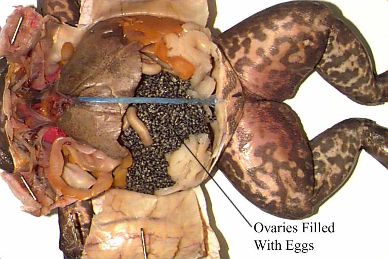 Diagram For Biology Frog - Illustration Of Wiring Diagram •