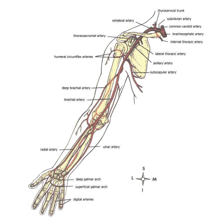 Major arteries of the upper extremities