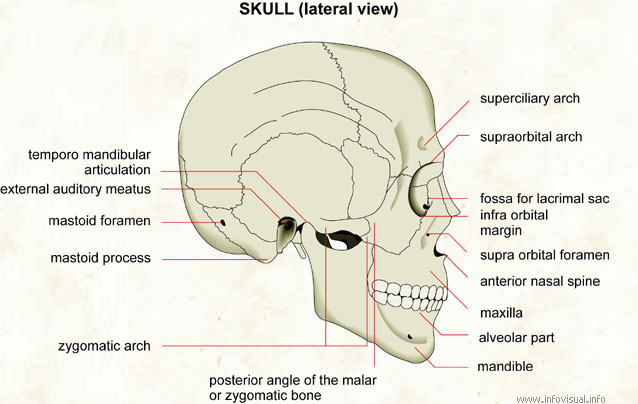skeletal system diagrams Lip Diagram