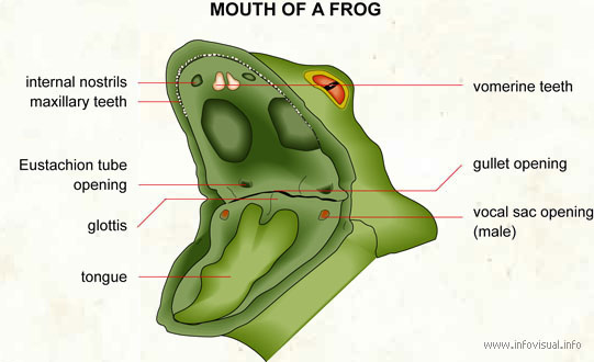 Parts Of A Frog S Mouth 110