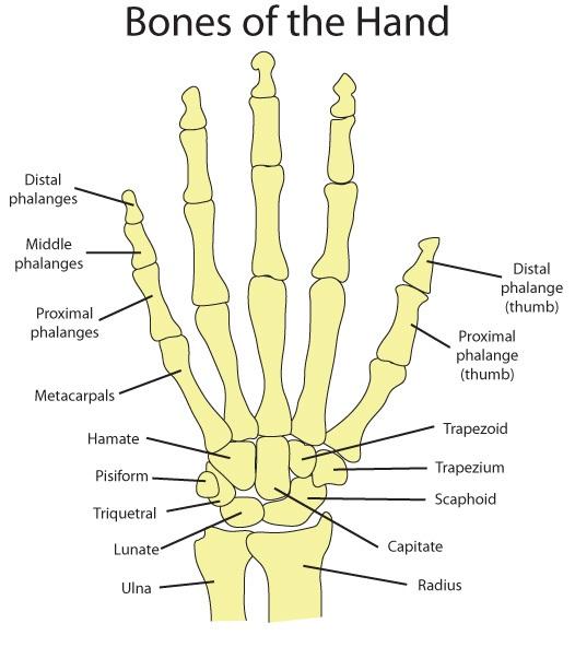 Bones hand anatomy