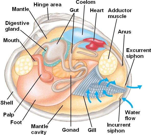Clam anatomy and functions