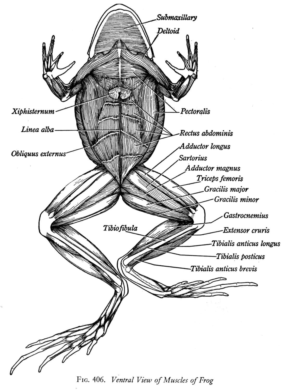 Frog External Anatomy Ventral