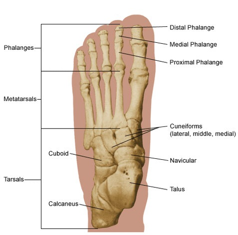 Labeled Picture Of The Human Foot 80