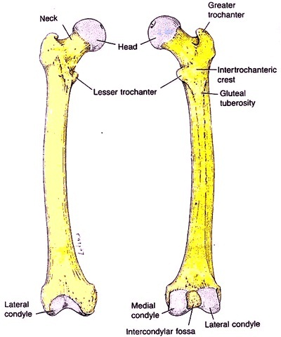 Labeled Diagram Of Skeletal System | Autos Post