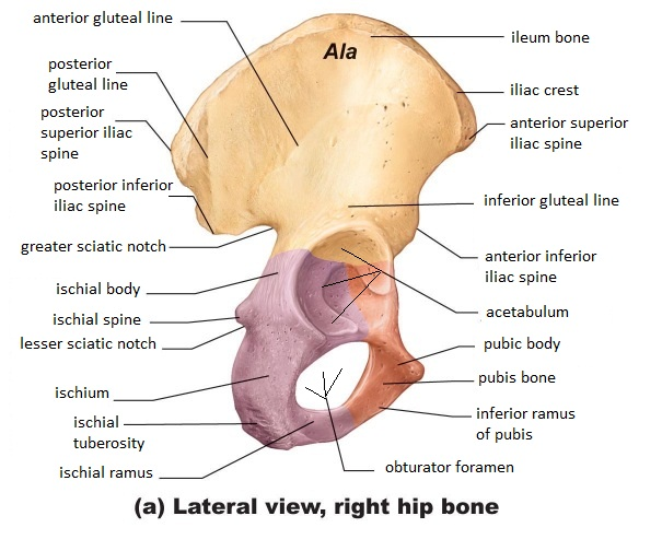 hip bone anatomy quiz - klejonka, Human body