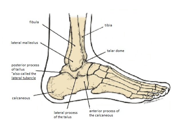 Human skeleton foot side - photo#16