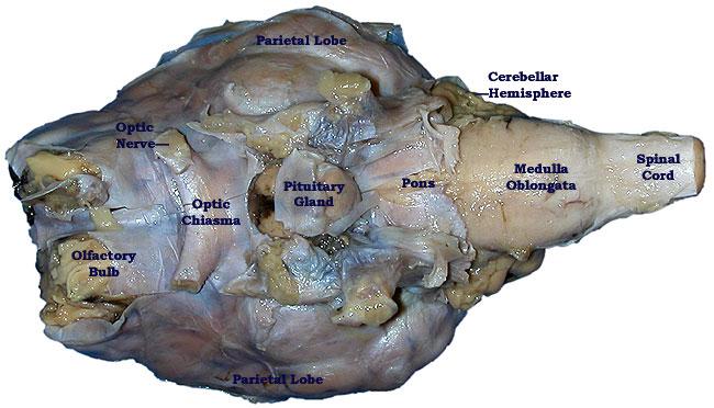 label eye diagram quiz sheep brain dissection lab companion #14