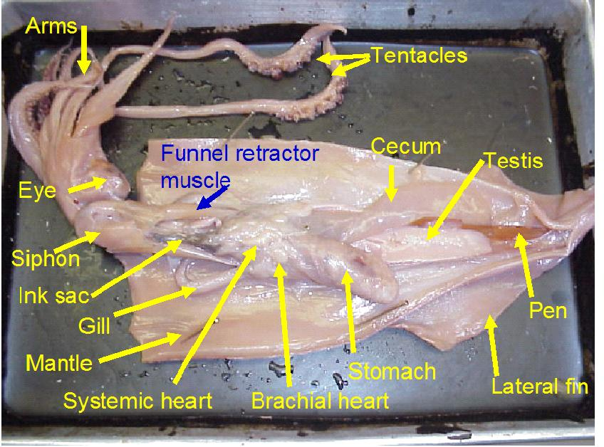 Squid Dissection Lab Companion