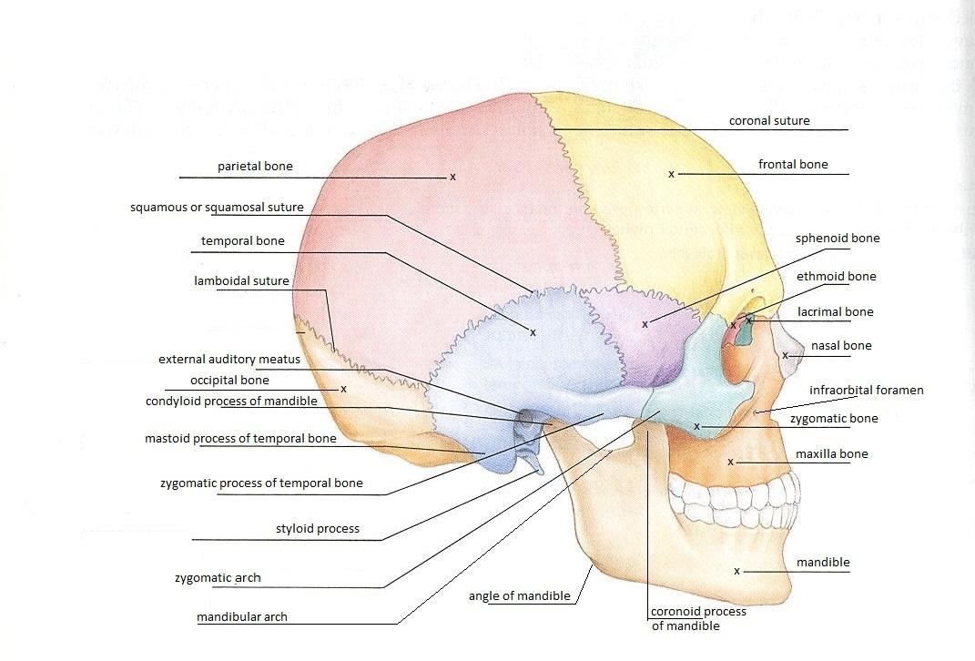 Anatomy skull labeling games