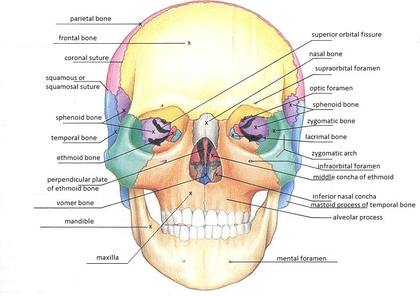 Frontal Skull Diagram, Frontal, Free Engine Image For User ...