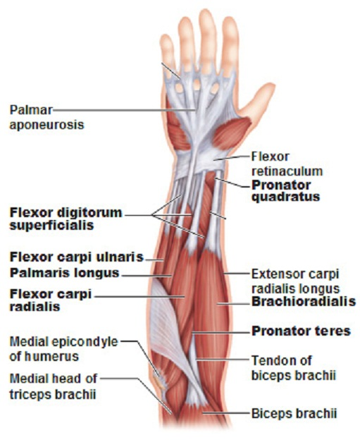 Muscles of the Lower A...
