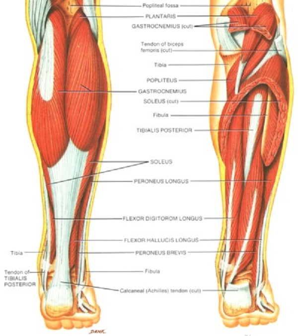 Human Leg Muscles Diagram