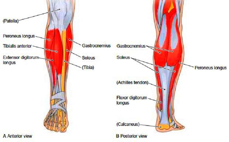 Muscle anatomy of the lower leg