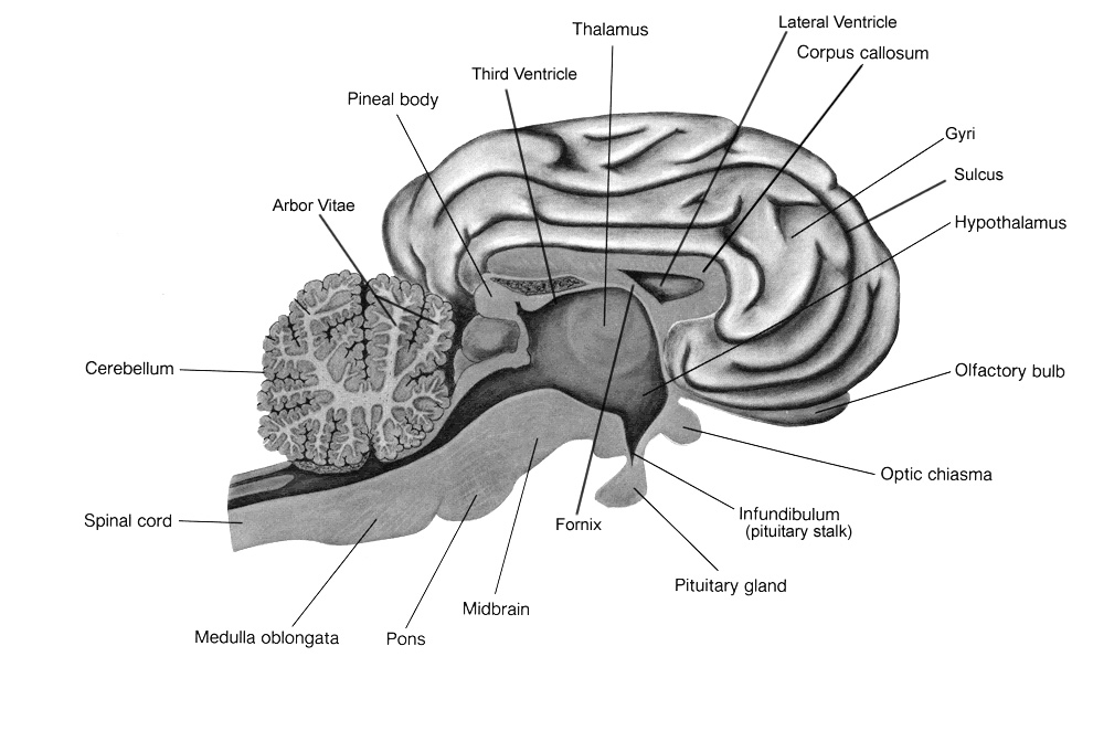 sheep brain dissection lab companion brain diagram amygdala label brain diagram