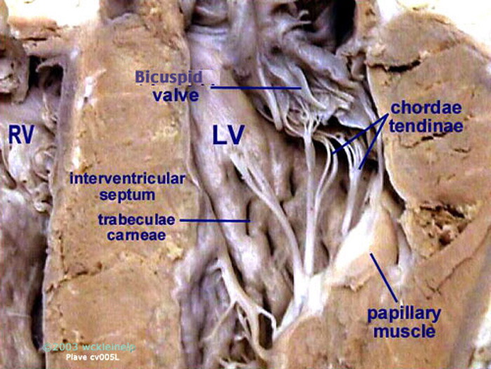 Image result for heart dissection chordae tendineae