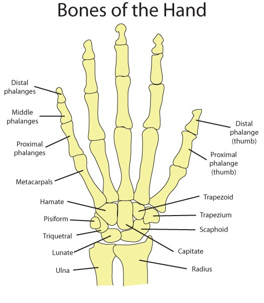 Structure of human thumb