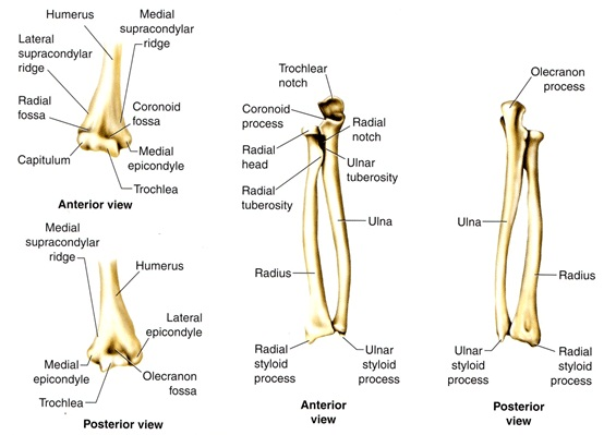 Lower Arm Bone Diagram - DIY Enthusiasts Wiring Diagrams •