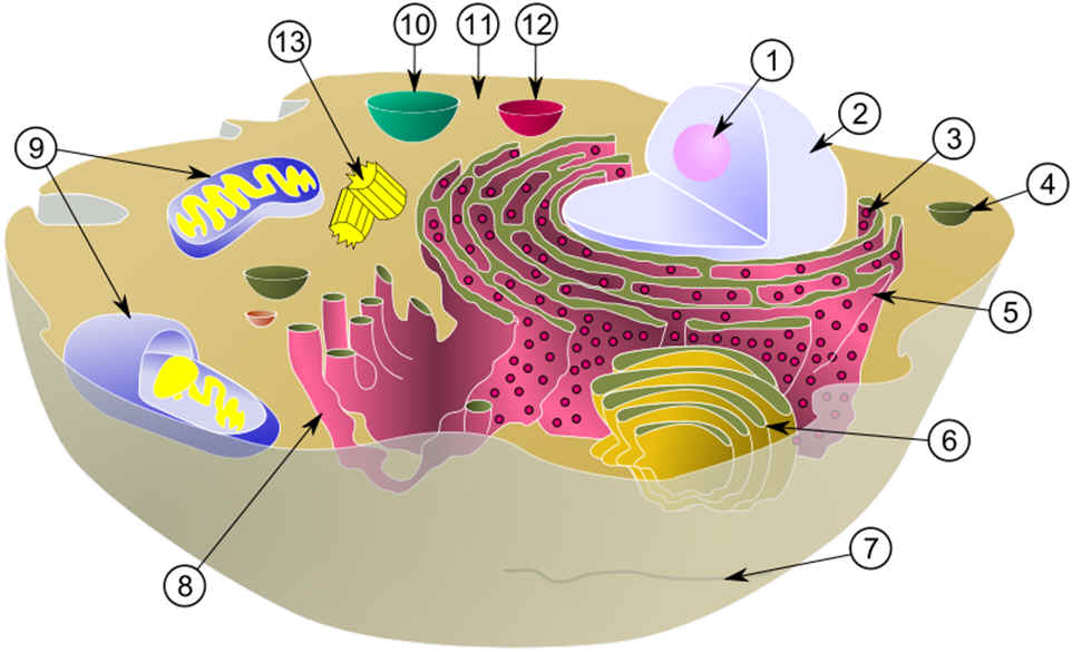 Composite cell diagram ccuart Images
