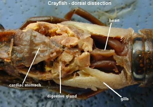 Crayfish Dissection Lab Companion – Crayfish Dissection Worksheet
