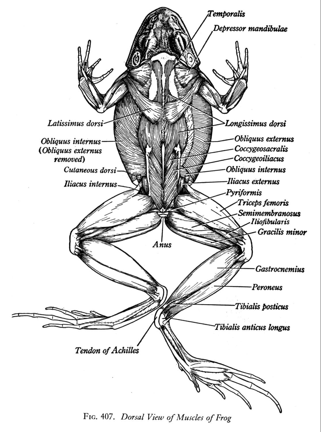biology 2 : frog muscle diagram - findchart.co