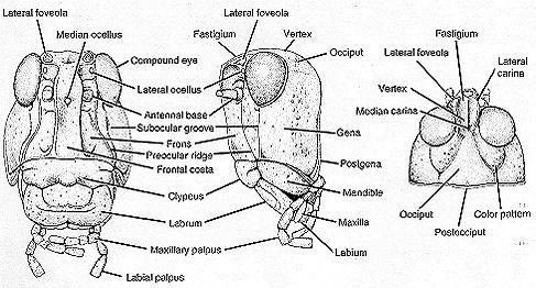 Anatomy of dragonfly