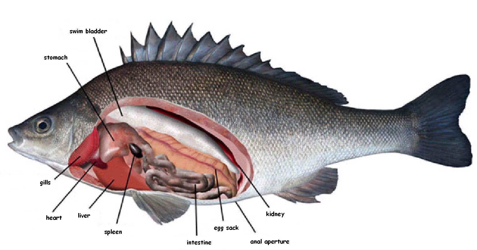 Uncategorized Fish Anatomy Worksheet perch dissection