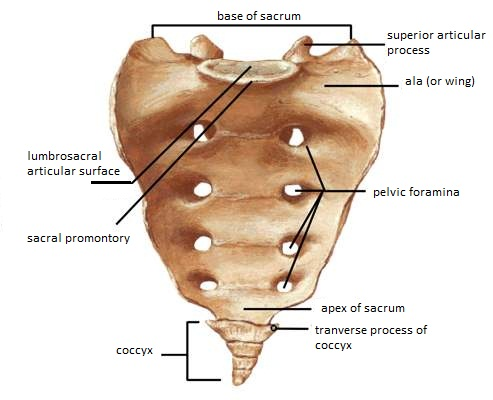 Skeletal system diagrams diagrams of the vertebral column thoracic cage ccuart Image collections