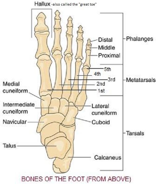Skeletal anatomy of the foot