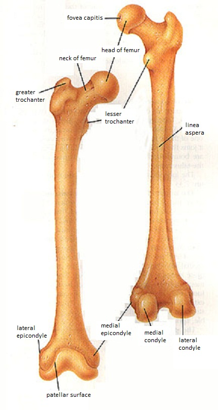 Bones of the Lower Extremities