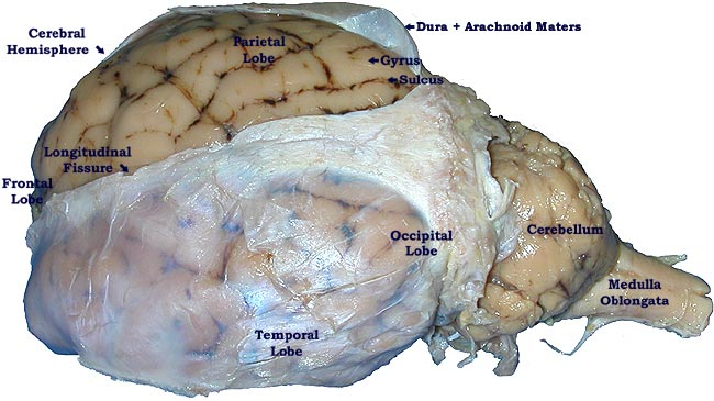 Sheep brain dissection lab companion ccuart Images