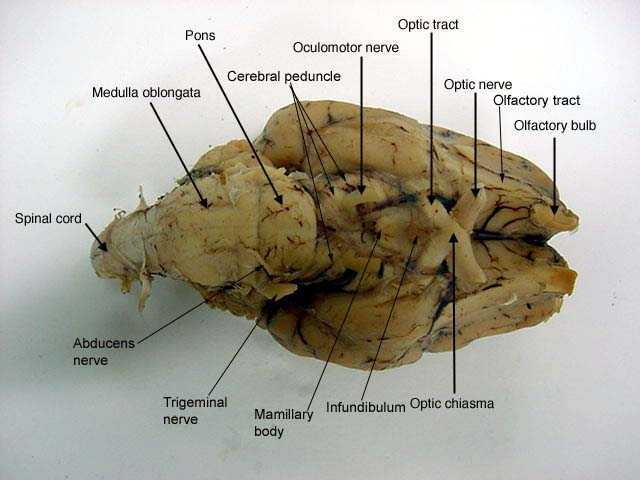 Sheep brain anatomy game