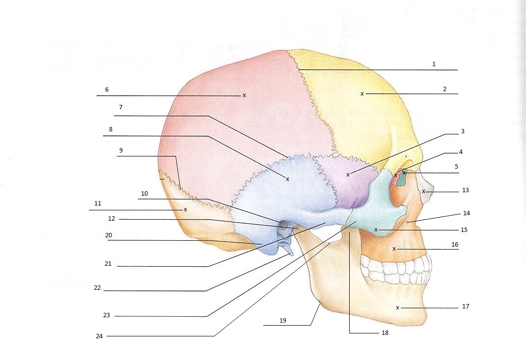 Skull quiz ccuart Image collections