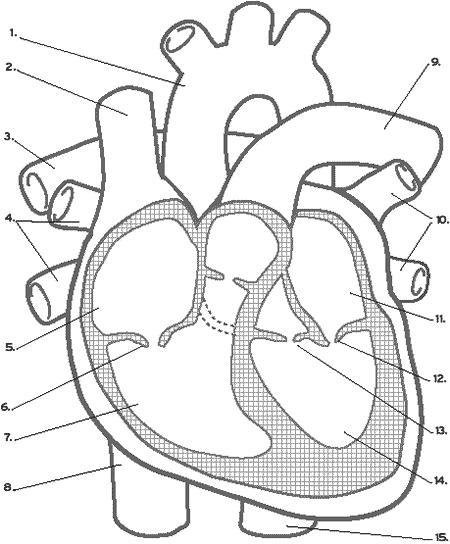 heart diagram. Black Bedroom Furniture Sets. Home Design Ideas