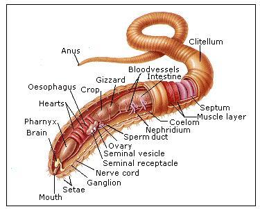 earthworm dissection : earthworm dissection diagram - findchart.co