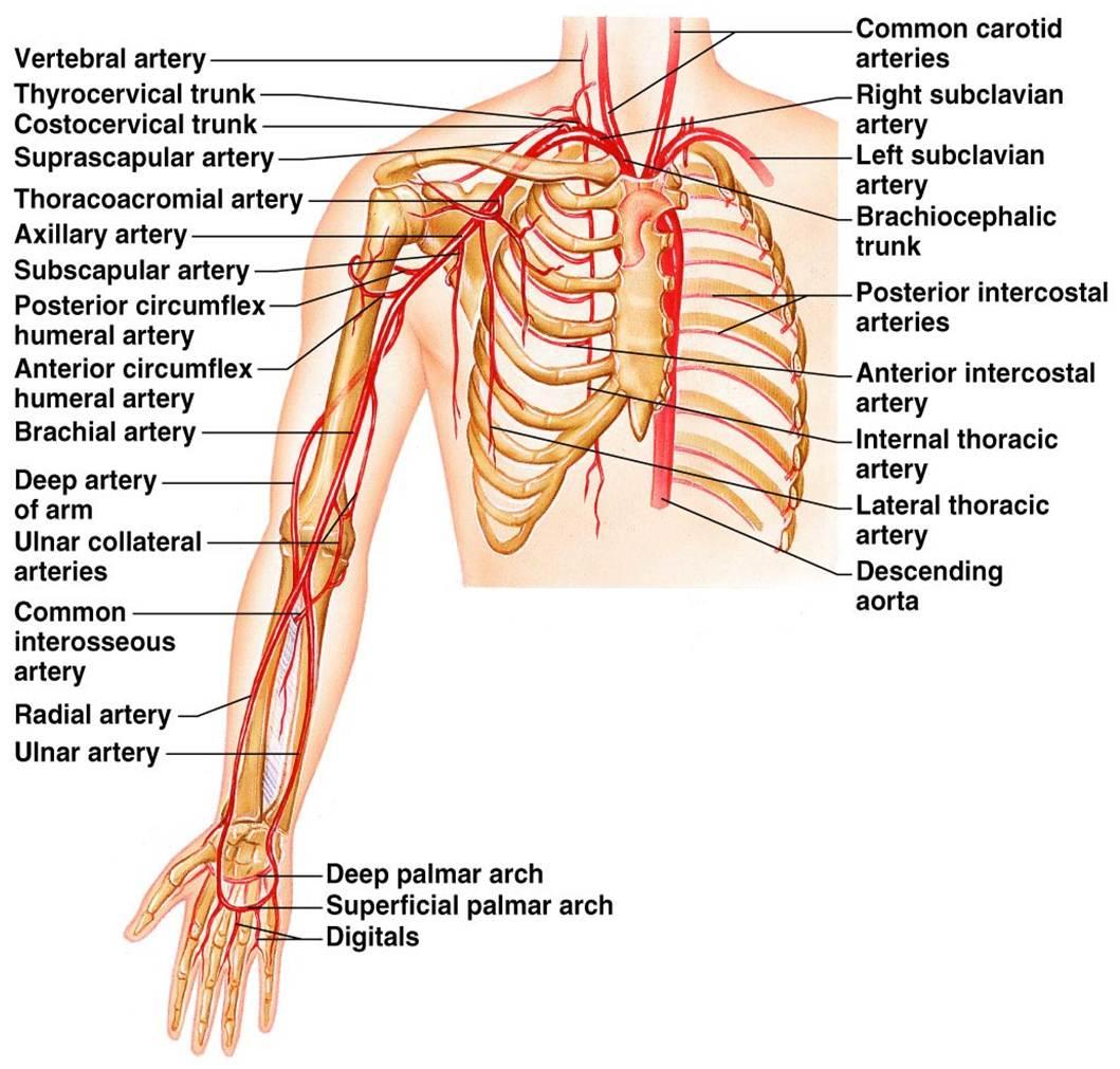 Diagram Of Arm Vessels Wiring Diagram