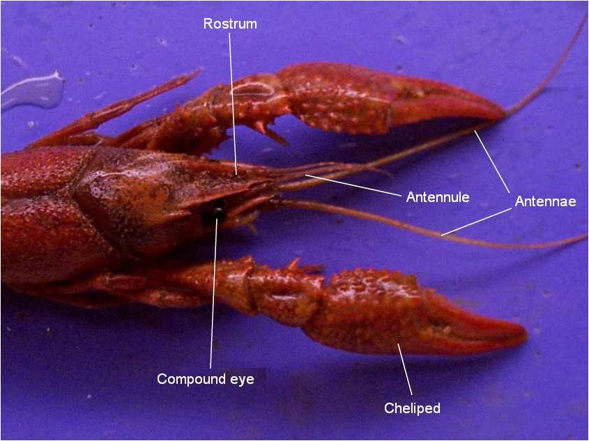 Function of maxilla in crawfish recipes