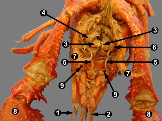 Crayfish Diagram Mouth - Trusted Wiring Diagram •