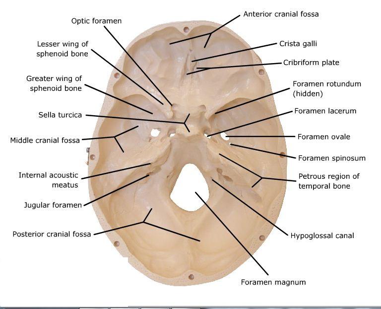 Pufiwale besides 364510163564357126 in addition Vertebral Column Worksheet also Human Skeleton Labeled together with The Human Skull. on printable skull labeling exercises