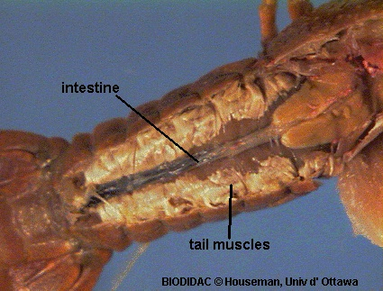 Crayfish dissection use the diagram below to help you locate the ventral nerve cord the nerve cord lies in a groove on the underside of the abdomen exactly opposite of the ccuart Gallery