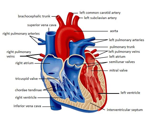 Diagram of the human heart hd m a diagram of the heart lickclick muscles ccuart Images