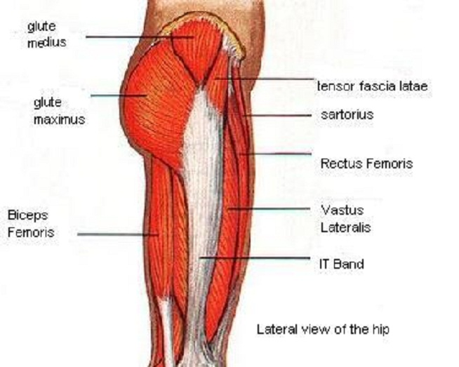 Thigh Muscles Anatomy Image Collections Human Body Anatomy
