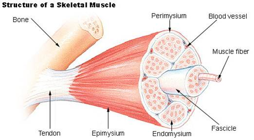 skeletal muscle review, Muscles