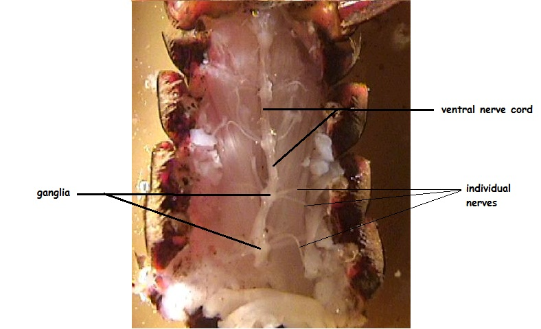 Crayfish dissection notice the enlargements of the nerve cord on the lateral sides these are called ganglia singular ganglion these will extend to the individual nerves ccuart Gallery