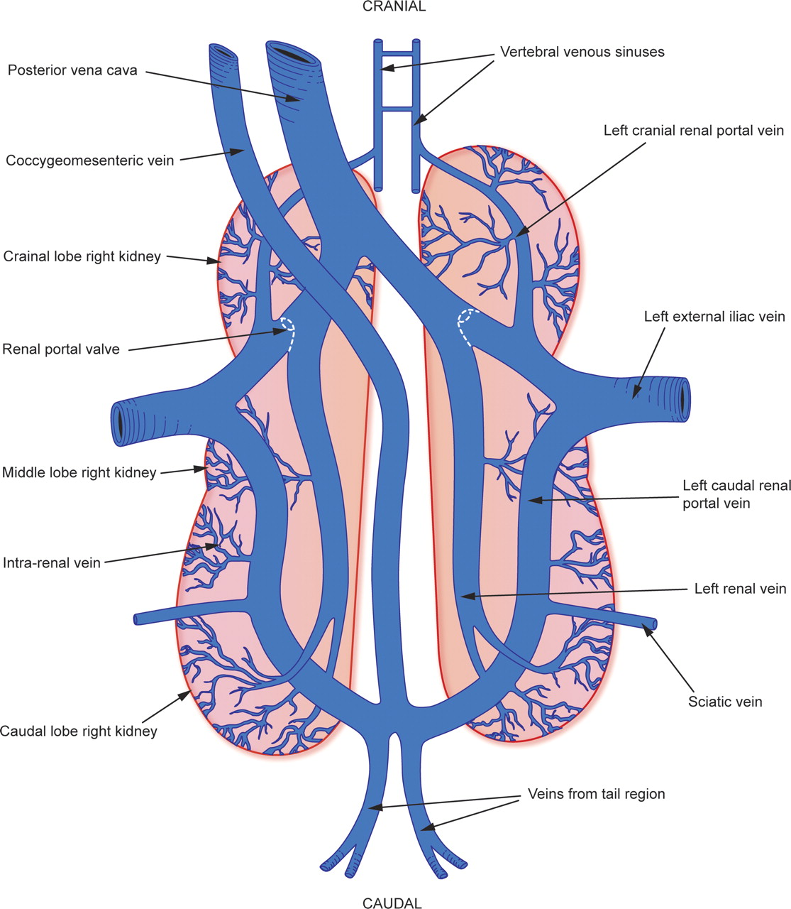 Hepatic portal circulation pooptronica