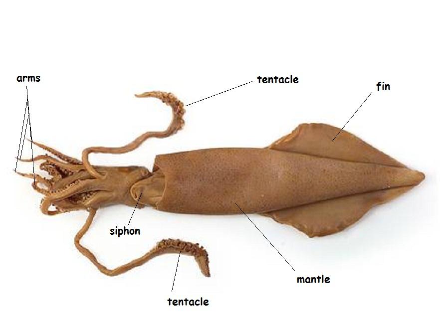 Squid Siphon