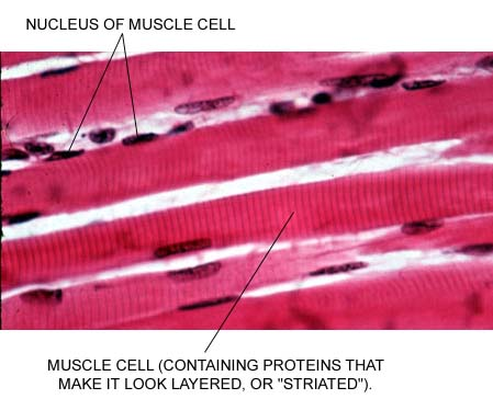 muscle tissue, Human Body