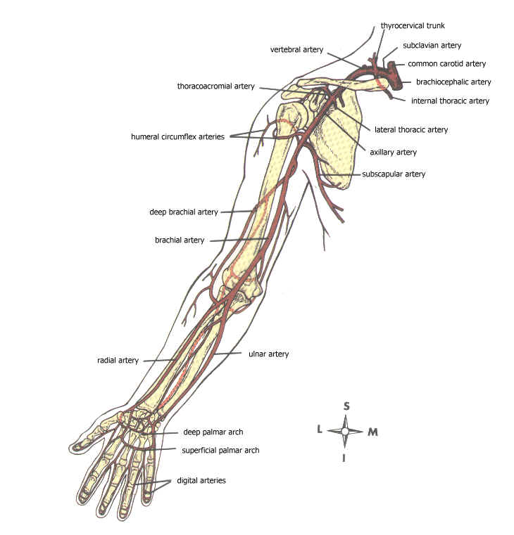 Upper Extremities Diagram - Block And Schematic Diagrams •