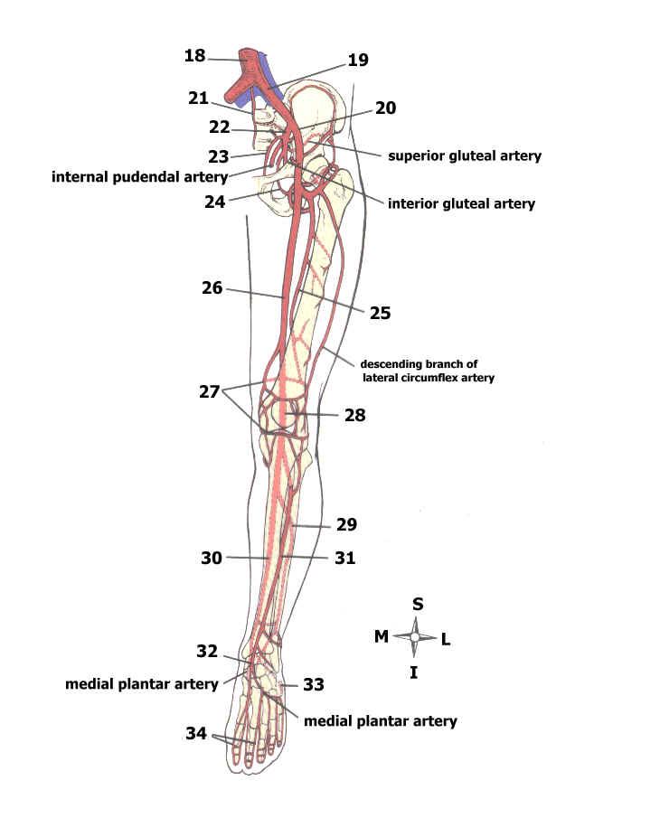 Major Arteries Of The Body Quiz