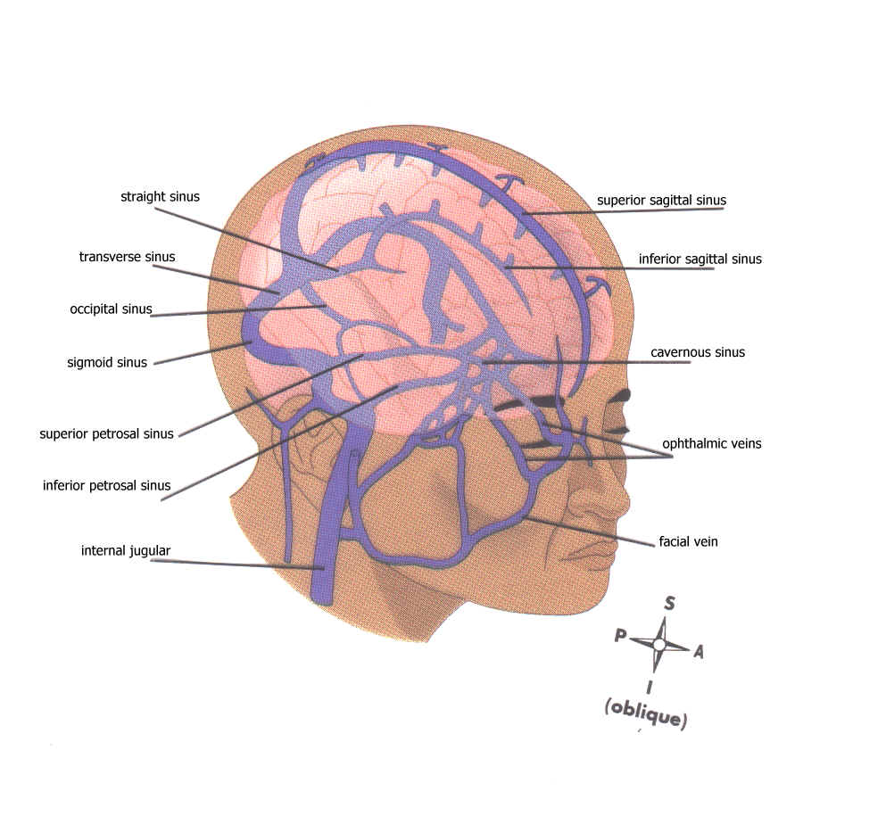 Diagram Of Veins In Neck Images How To Guide And Refrence